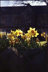Kodak Retina IIS - Yatton Daffodils - 1 (TempusVolat) Tags: gareth tempus volat tempusvolat mrmorodo kodak retinette retina 017 iis retinetteii ii 35mm film negative vintage camera scan scanner scanned epson perfection v200 epsonperfection scanning geotagged garethwonfor mr morodo analog lomo lomography experiment filmphotography 35mmphotography analogphotography 135 emulsion