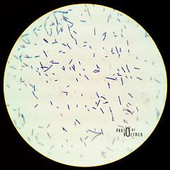 Bacillus spp. (bozfalo) Tags: microscopic microscope bacteria bacillus