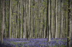 The Blue Forest by Tom Cuppens, on Flickr