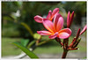 Frangipane - Flower in d'Omah Bali Hotel (Michaël Magnin) Tags: bali flower fleur fleurs plante hotel frangipane plumeria ubud flore hôtel indonésie domah domahbalihotel panestananklodubud