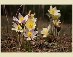 Anemone pulsatilla (vrd99) Tags: flowers flower forest canon spring blossom anemone april tamron 2014 pulsatilla
