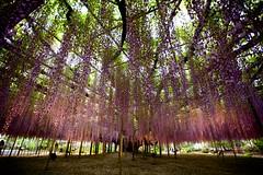 Wisteria story (Thomo13) Tags: park flowers flower tree japan spring vines fuji purple hanging wisteria ashikaga