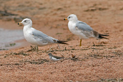 Spotted Sandpiper, Ring-billed Gulls (1krispy1) Tags: gulls sandpipers ringbilledgull spottedsandpiper coloradobirds