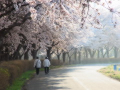 cherry (upjohn_freak) Tags: pink people flower cherry 桜 花 fiore