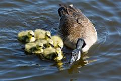 A New Mum (Visit My Blog at www.leeshandphotography.com) Tags: new usa lake canada bird spring nikon farm goose jersey fowl nikkor celery 80400mm goslin d7100