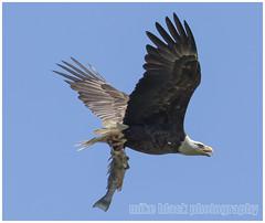 Bald Eagle with Mother's Day feast (Mike Black photography) Tags: new blue summer sky white fish black color bird mike nature colors canon lens outdoors flying photo spring big eagle wildlife pair sandy year watching birding flight beak feathers bald may nj aves talon raptor shore jersey l usm dslr ornithology cosmos nesting eaglet 2014 800mm fliight