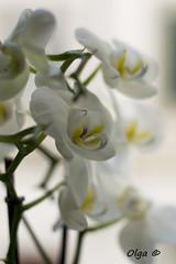 Orchidea (Petit Ampoule) Tags: flowers light white 50mm fiori d3100
