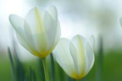 DSC_6449a (Fransois) Tags: flowers light white closeup fleurs spring bokeh lumire printemps blanches tulipes diaphanous diaphane