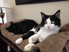 ava cat blackcat catnap cina blackandwhitecat nappingcats