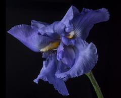 Cattywampus Iris