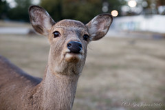 (GenJapan1986) Tags: animal japan deer  nara   2015    nikond610