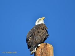 February 13, 2015 - A bald eagle perches on a pole in Thornton. (Ed Dalton)