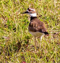 _AAC8685.jpg (Lake Worth) Tags: bird nature birds animal animals canon wings florida wildlife feathers wetlands everglades waterbirds southflorida 2xextender sigma120300f28dgoshsmsports