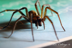 IMG_5309 (Lee Collings Photography) Tags: macro nature monster closeup spider scary wildlife arachnid beast arachnophobia terrifying housespider 8legs 2601 8legged arachnophobic spidercloseup 26012015