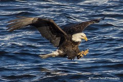 Not a good sight if your a fish (Thomas DeHoff) Tags: eagle lock dam sony 14 bald a580