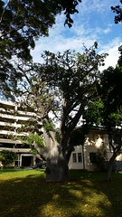 AdansoniaDigitata_20141223_DeptAg-Honolulu_Cutler_162651 (wlcutler) Tags: hawaii waikiki oahu honolulu baobab adansonia adansoniadigitata