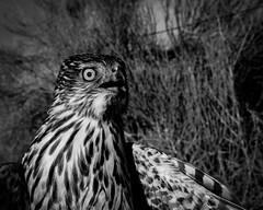 Sagebrush Accipiter (Jon David Nelson) Tags: blackandwhite ecology birds centraloregon hawk research highdesert biology raptors birdsofprey banding coopershawk harrishawk accipitercooperii ftrock