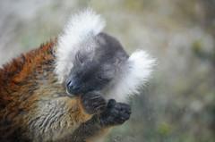 Zoo Istanbul (Giuseppina Angioi) Tags: animals turkey zoo istanbul lemur animali turchia lemure daica