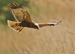 Marsh Harrier      . Dungeness RSPB (GrahamParryWildlife) Tags: new uk blue sky sunlight plant male bird up field animal sport reeds photo kent flickr dof outdoor hunting sigma add 7d frogs mk2 dungeness marsh viewing depth birdofprey harrier plumage rspb kentwildlife 150600 grahamparrywildlife