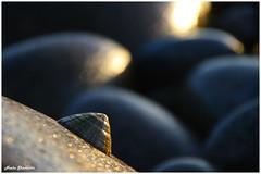 17/52 - Shallow Depth of Field (Neeku) Tags: ocean ireland sea beach rock seashells rocks bokeh stones wildlife shell eire depthoffield shore seashell shallow depth donegal irlanda shallowdepthoffield   clonmany   leenan neeku    wildatlantic  neekushamekhi      thewildatlanticway thewildatlantic   urrismanagh