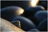 17/52 - Shallow Depth of Field (Neeku) Tags: ocean ireland sea beach rock seashells rocks bokeh stones wildlife shell eire depthoffield shore seashell shallow depth donegal irlanda shallowdepthoffield ساحل سنگ clonmany دریا صدف leenan neeku صخره اقیانوس عمقمیدان wildatlantic بوکه neekushamekhi نیکوشامخی نیکو اطلس ایرلند اقیانوساطلس thewildatlanticway thewildatlantic اقیانوساطلسشمالی دونگال urrismanagh