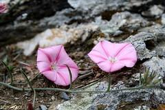 FLOWERS (SergioLoi) Tags: sardegna flowers italy primavera flora italia sardinia campagna fiori rosso papaveri barbagia esterzili