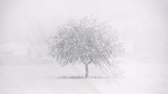 White Out (liqube) Tags: winter blackandwhite white snow tree dark alone doubleexposure lonely blizzard whiteout greyscale doubleexposed