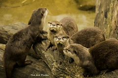 European Otters (The Ant Photos) Tags: travel nature protection reportage biodiversity assigment conservationcenter annimal
