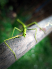 Acanthoxyla inermis (nature adrift) Tags: insect devon stick