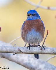 _MG_1270.jpg (tjludwick) Tags: california bird us unitedstates bluebird visalia westernbluebird