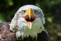 Alaskan Bald Eagle (Linda Martin Photography) Tags: uk nature birds female wildlife ngc hampshire npc raptors haliaeetusleucocephalus coth alaskanbaldeagle libertyraptorcentre canon5dmarklll