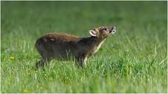 Muntjac (pstani) Tags: uk england animal deer cambridgeshire muntjac barkingdeer paxtonpits littlepaxton reevessmuntjac muntiacusreevesi