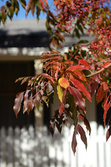 Autumn in Jamieson (Ptolemy the Cat) Tags: autumn fence colours bokeh australia victoria foliage jamieson picketfence hff nikond600 fencefriday nikonf282470mmlens