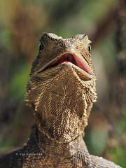 Eastern Water Dragon (Vas Smilevski) Tags: animals dragon bokeh reptile wildlife ngc australia olympus lizard 300mm nsw lizards reptiles omd australianwildlife em1 easternwaterdragon reptilia m43 australianreptiles getolympus olympusau intellagamalesueurii olympusomdem1 intellagama olympusinspired mzuiko300mmf4pro