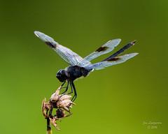 Dragonflies -35 (jimlustgarten) Tags: dragonflies lustgarten