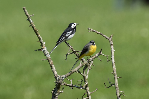 Pied Wagtail and a Male Grey Wagtail