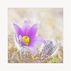 Pasque flower (BirgittaSjostedt.) Tags: wild flower nature field spring bokeh bud ie pasque pulsatilla commonpasque magicunicornverybest birgittasjostedt