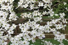 Dogwood blossoms & fence bokeh ~ HFF! (karma (Karen)) Tags: trees home backyard dof bokeh blossoms fences maryland baltimore explore dogwood hff 50favs fencefridays