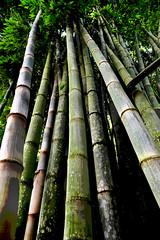 Bambual (Nelson Paim) Tags: bamboo perspectiv bambual