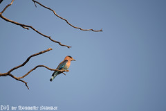 Indian Roller (Robbert met dubbel B) Tags: park india nature birds photography wildlife indian natuur safari national roller april np 2016 indische nationaal wildlifephotography tadoba andhari scharrelaar wildfotografie