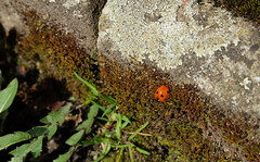 Ladybird (Goruna) Tags: bug insect ladybird ladybug marienkfer