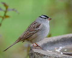 White-crowned Sparrow (Summerside90) Tags: ontario canada nature birds garden spring backyard wildlife may birdwatcher whitecrownedsparrow