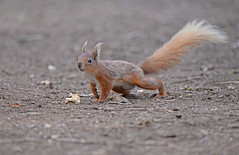 Hold that pose (Wildlife Online) Tags: red animal mammal rodent squirrel native wildlife hampshire isleofwight britishwildlife redsquirrel vulgaris sciurusvulgaris nutkin sciurus ukwildlife marcbaldwin wildlifeonline