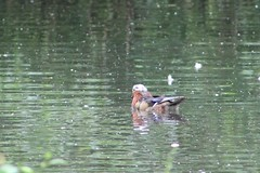 Mandarin duck (sflangridge) Tags: bird birds mandarinduck londonloop busheypark