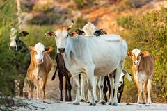 Baja California Sur, Mar de Cortez-11.jpg (gaillard.galopere) Tags: beautiful mexico cow bajacalifornia baja bajacaliforniasur vaca gaillardgalopere