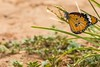PGC_0635-20151022 (C&P_Pics) Tags: butterfly southafrica places za stlucia kwazulunatal capevidal insectsandspiders isamangaliso stluciapark southafrica2015