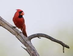 Cardinal (Sethf99) Tags: cardinal d500 malecardinal