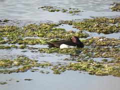 Tufted duck resting (nina1688) Tags: bird nature water beautiful birds duck suffolk wildlife waterbird resting tufted tuftedduck wildbird levingtoncreek