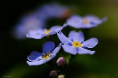 Myosotis (jpto_55) Tags: fleur myosotis bleu xe1 bokeh macro fuji fujifilm omlens om50mmf2macro