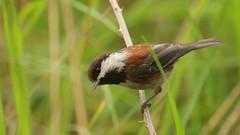 Chestnut Backed Chickadee (Sandra_Gilchrist) Tags: bird bc britishcolumbia vancouverisland chickadee parksville avian chestnutbackedchickadee nanoosebay chestnutbacked sandragilchrist
